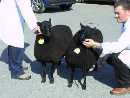 Pair of Shearling Ewes 2010